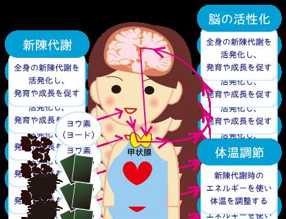 甲状腺ホルモンの働き