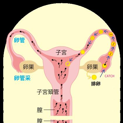 妊娠の仕組み
